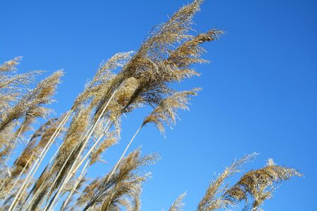 against: reeds grass against blue sky