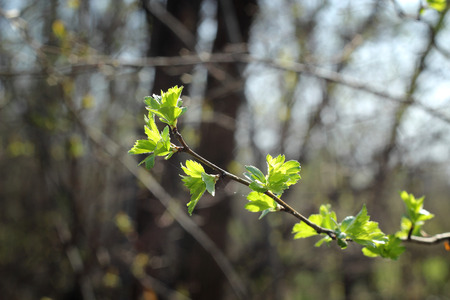 spring leaf: Branch with green leaf, Young leaf on a tree, Small green leaf, fresh green leaf on tree branch, spring tree branch, plumeria tree in rain season, new life start, start of spring, blooming garden