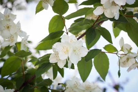 tree jasmine: Tree branch with white flowers of jasmine.