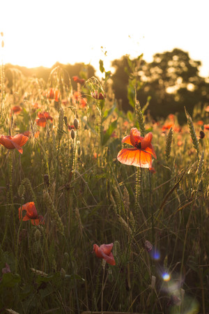 Red poppy flowers in the oil seed rape fields on sunset Stock Photo