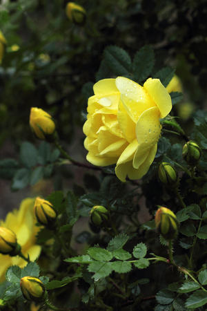 yellow rose with drops of rain in summer