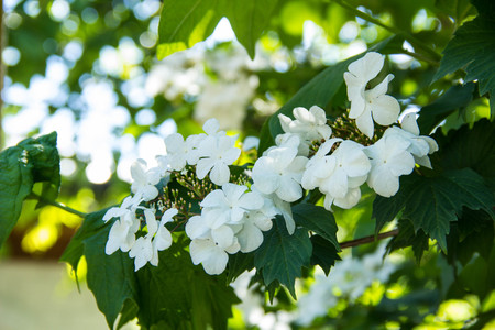 Flowers of Snowball tree Viburnum opulus. White flowers of guelder-rose