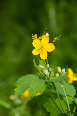 early morning flowers yellow celandine close up