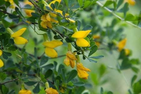 Siberian yellow acacia Caragana treelike. Caragana arborescens. Stock Photo