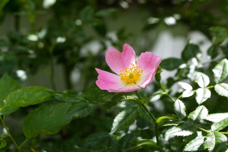 Flower wild rose growing in the spring Stock Photo