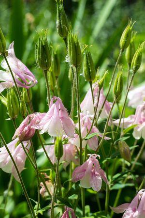 columbine: flowers aquilegia vulgaris - Common columbine - soft focus