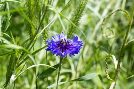 Beautiful wildflowers cornflowers flower in summer. Selective focus