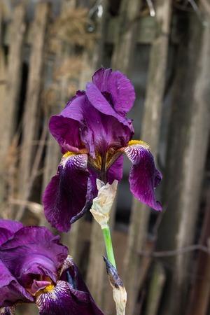 A closeup of a black velvet bearded iris using a shallow depth of field Stock Photo