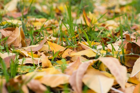 field maple: Fallen yellow autumn leaves on ground. Patch of fresh green grass in focus in foreground. Beautiful fall park. Season wallpaper. Selective focus. Shallow DOF, shallow depth of field.