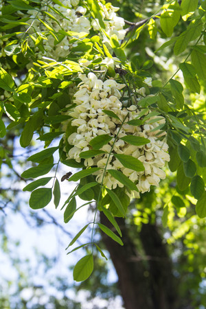swaying: Flowers of a white acacia against green foliage Stock Photo