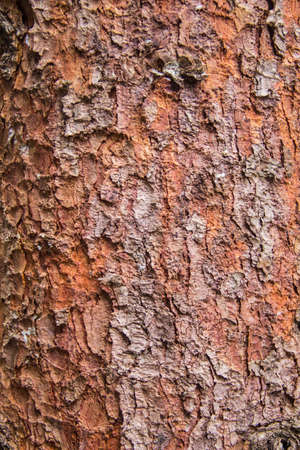 corroded: Texture of red pine bark Tree for background