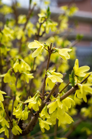 Blooming in spring garden bush forsythia with yellow flowers stock blooming in spring garden bush forsythia with yellow flowers stock photo 77512834 mightylinksfo
