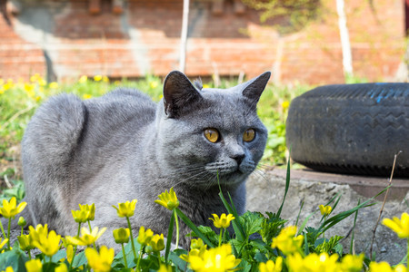 Grey British cat sitting on a glade in a green grass with yellow flowers. Stock Photo
