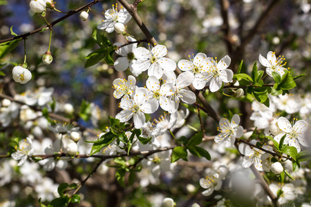 Spring flowering cherry with white flowers close-up Stock Photo