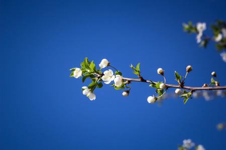 Blühende Kirsche Des Frühlinges Mit Nahaufnahme Der Weißen Blumen Um ...