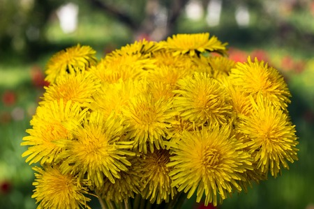 arm bouquet: Beautiful bouquet of yellow dandelions in the shape of a ball on the natural background