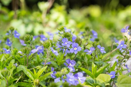 Veronica chamaedrys - small, spring blue weed in nature Stock Photo