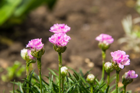 many pink Armeria maritima wildflowers in spring on a garden. Stock Photo