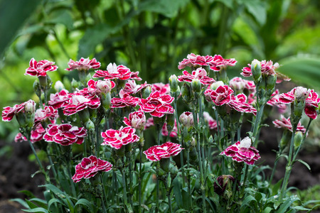 Pink Carnation flowers in summer garden. Dianthus caryophyllus.
