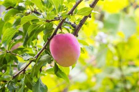 Fruits Of A Mature Purple Plum On A Tree Branch In A Summer Garden