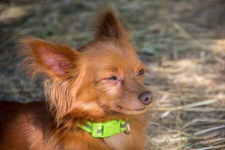 red Russian long haired Toy Terrier lying on the ground outdoor