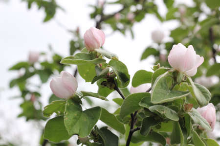 Buds, on an apple tree. Small buds on an apple twig