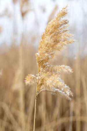 dry plant reeds with snowflakes on a natural background in winter