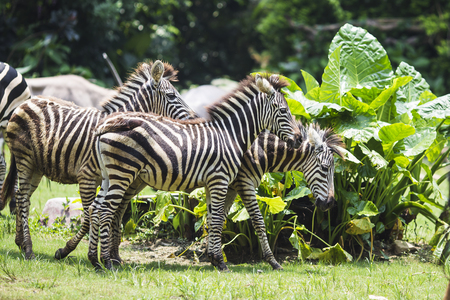 herbivore natural: zebra