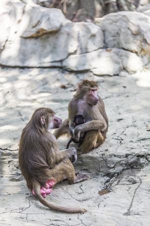 land mammal: Baboon Stock Photo
