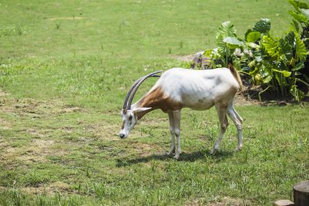 plains indian: antelope