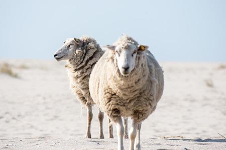 Germany Sylt, sheep at the beach