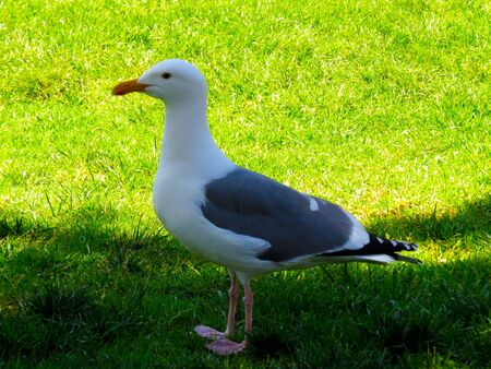 beautiful seagull standing in green grass on sunny day