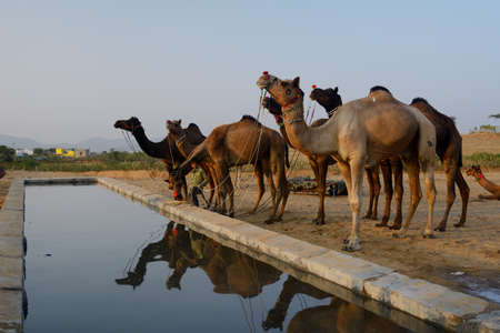 Camel in Camel Fair, Pushkar, India. Stock Photo
