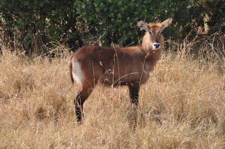 Deer in Africa. Stock Photo