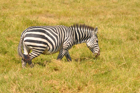 Zebra in the forest of Africa. Stock Photo