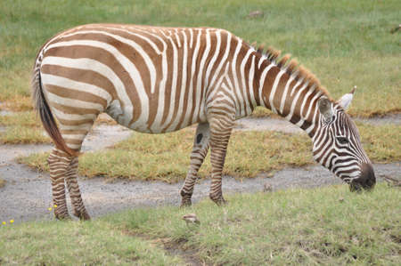 Zebra in  the forest of Africa.