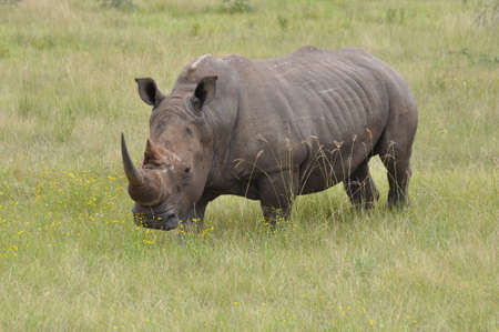 Rhinoceros, in the Forest of Africa.