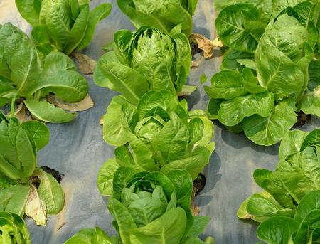 cos: fresh green cos lettuce in field