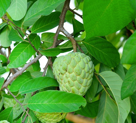 custard apples: Custard apples or Sugar apples  on  tree in garden
