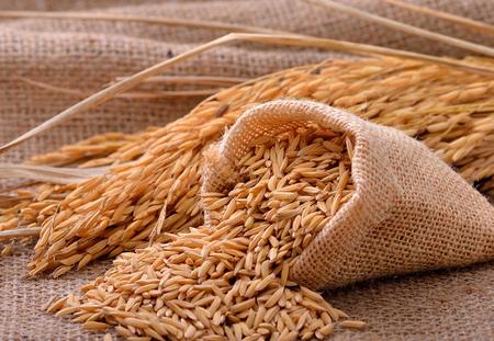 grain fields: paddy jasmine rice