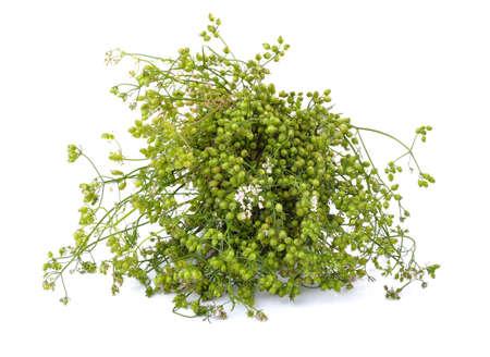 coriander seeds: coriander seeds on white  background.