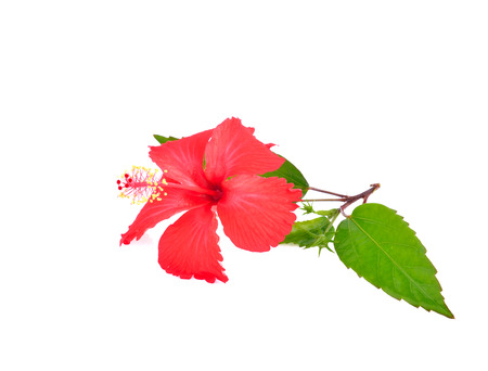 Chinese Red Hibiscus flowers Stock Photo