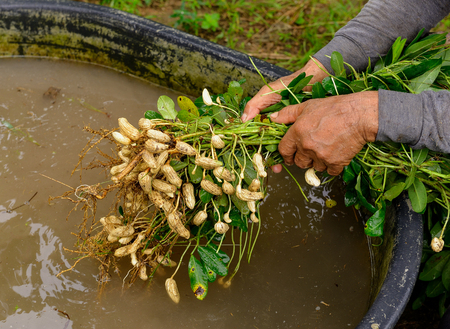groundnut: clean groundnut in water Stock Photo