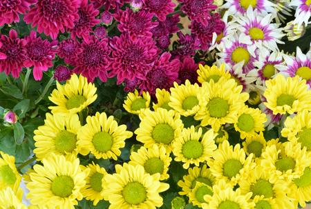 chrysanthemum flowers  background.