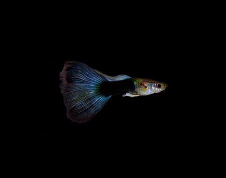 poecilia: Guppy fish on black background Stock Photo