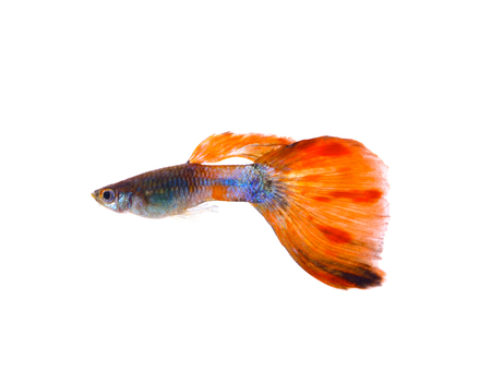 poecilia: Guppy fish on white  background