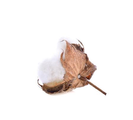 cotton flower on white background 版權商用圖片