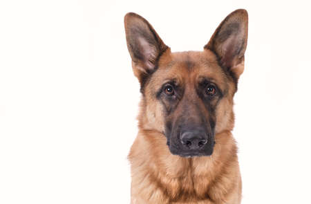 Portrait of a German Shepherd head, 3 years old, in front of white background, copy-space