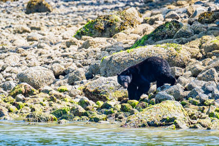 Wild Black Bear, Ursus americanus, on rocky beach clambering through the rocks. Vancouver Island, British Columbia, Canada