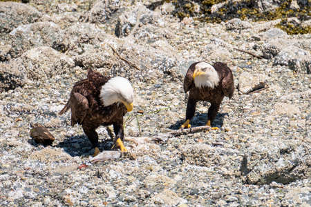 Close-up of two Bald Eagles standing on the beach and opposite to each other, next to the river